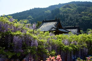 八女の黒木藤、霊巌寺 - 山歩きと自然観察