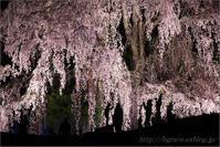 合戦場のしだれ桜 ライトアップ - 遥かなる月光の旅
