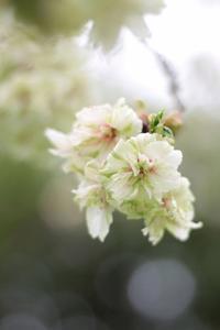 丘の桜 20170420 - ちょこちょこ4