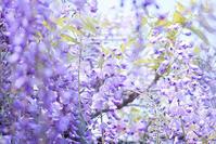 鳥羽の藤 - Photomomo*ももなの写真館