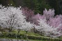 長野 池田町 クラフトパークの桜 - 日本あちこち撮り歩記