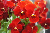 17'04/03 庭の花♪ - Cojum's Diary