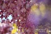 桃色藤 - ある日の足跡