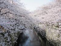 春の日本_2017 (17) ♪目黒川の満開の桜♪ - やせっぽちソプラノのキッチン2