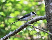 夏鳥たち・2 - 季節の鳥達