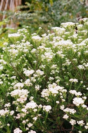 摘みごろの。ライスフラワー - Pastel green-Flower diary