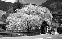 「人里」のしだれ桜 - alors  photos ライカと50mmで