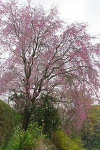 丘の上のしだれ桜 - katsuのヘタッピ風景