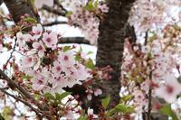 桜を撮りに出かけて… - ★ひかるっち★の Happy spice ブログ