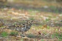 ミミズを捕食:トラツグミ - 武蔵野の野鳥
