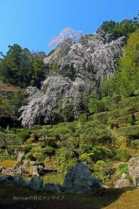 医光寺の枝垂れ桜 - daistarの自己マンライフ