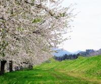 ❀ 桜吹雪 ❀ - 長女Yのつれづれ記