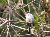 エナガその後の里山 - TACOSの野鳥日記