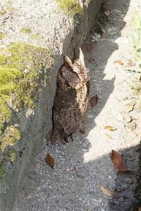 オオコノハズク 初見 初撮り 初タッチ - おらんくの自然満喫
