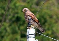 ・サシバ - 鳥見撮り