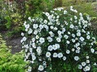 白い花 - ろりぽりの花