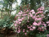昭和の森グリーンガーデンの石楠花が見頃。 - 白壁荘だより  天城百話