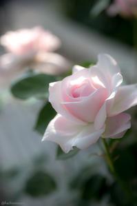 薔薇 - 蜂野武蔵は死んだのさ