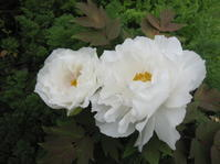 ホワイトガーデンには程遠く - 花の自由旋律