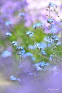わすれな草 - 今日の小さなシアワセ