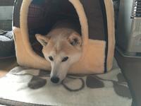 新しいハウスは - 柴犬さくら、北国に生きる