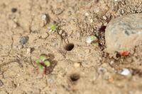 トウキョウヒメハンミョウ - Insect walk