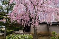 成願寺の桜 - 鏡花水月
