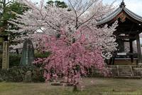 京のさくら2017 4月9日桜めぐり 後編 - ぴんぼけふぉとぶろぐ2