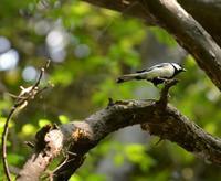 シジュウカラ - 西多摩探鳥散歩