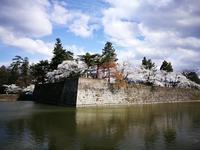鶴ヶ城の桜1 @福島県会津若松市 - 963-7837
