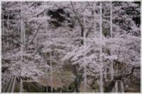 USUZUMIZAKURA / 淡墨桜 - 花鳥風猫ワン