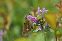 やっと出会えたミヤマチャバネセセリ - 蝶超天国