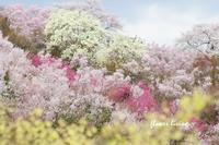 福島の桜 - flower living