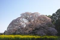 吉高の大桜 1 - Patrappi annex