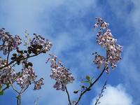 桐の花 Les fleurs de Paulownia - フランス Bons vivants idees d'aujourd'hui