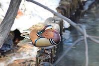 オシドリきれい - Bird-Watching Journal