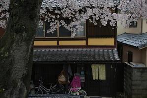 桜  2017  半木の道~ - 写真部