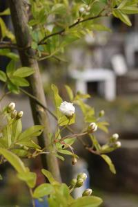 白モッコウが咲き始めました。 - CROSSE 便り