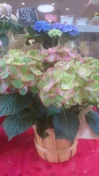 母の日にオススメの鉢物はいかがですか? - ~ Flower Shop D.STYLE ~ (新所沢パルコ・Let's館1F)