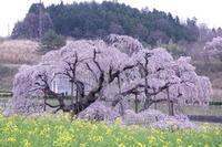 三春の滝桜 - 丙午の気分次第日記