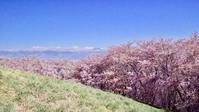 松本 弘法山古墳の桜 - 丙午の気分次第日記