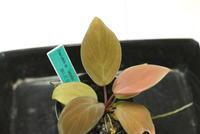 "Homalomena sp. ""Sekadau"" - PlantsCade -2nd effort"