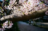 桜の季節 - アワジシマイッシュウ(某島民)