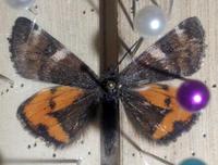 カバシャクは今年も… - 蝶と