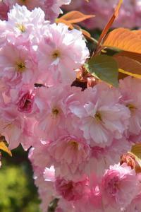 八重桜 - 「 ボ ♪ ボ ♪ 僕らは釣れない中年団 ♪ 」