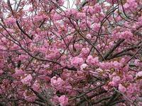 ルーズベルト島の八重桜 - NYの小さな灯り ~ヘアメイク日記~
