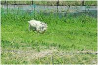 ヤギのある風景 - 写真画廊 ナカイノブカズ 2