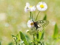 ウスバシロチョウ - 風の翅
