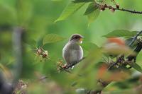 モズの子育て2 焦って桜の葉を - 気まぐれ野鳥写真