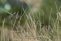 菜の花と麦畑【モズ・セッカ】 - 鳥観日和